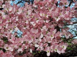 Cherry blossoms at the Bayberry Inn B&B in Ashland Oregon
