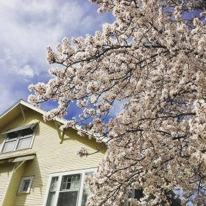 Cherry Blossoms are popping out all over the Bayberry Inn in Ashland Oregon
